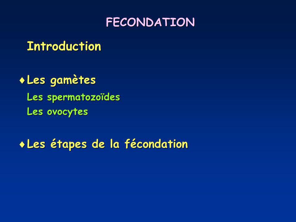 FECONDATION Introduction Les gamètes Les gamètes Les spermatozoïdes Les ovocytes Les étapes de la fécondation Les étapes de la fécondation
