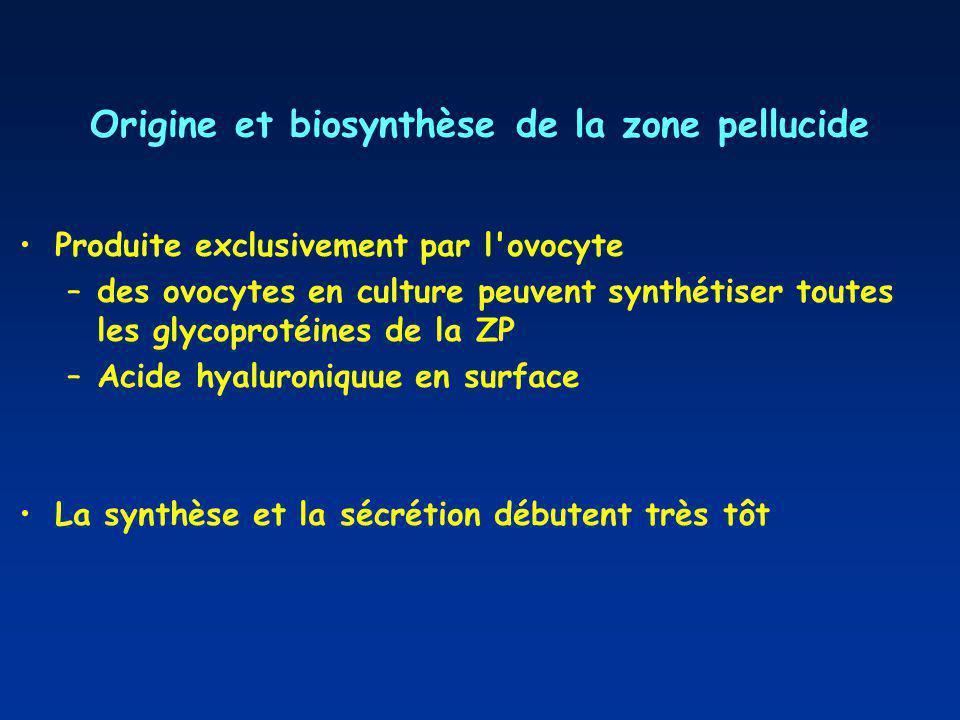 Origine et biosynthèse de la zone pellucide Produite exclusivement par l ovocyte –des ovocytes en culture peuvent synthétiser toutes les glycoprotéines de la ZP –Acide hyaluroniquue en surface La synthèse et la sécrétion débutent très tôt