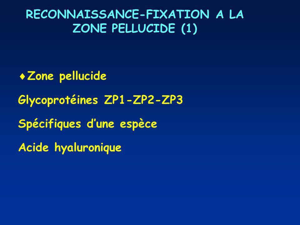 RECONNAISSANCE-FIXATION A LA ZONE PELLUCIDE (1) Zone pellucide Glycoprotéines ZP1-ZP2-ZP3 Spécifiques dune espèce Acide hyaluronique