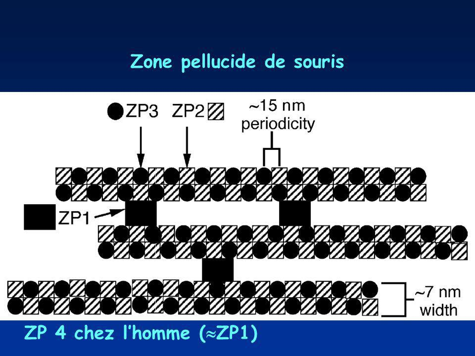 Wassarman,PM2005p95Fig. 2. Organization of ZP filaments. Diagrammatic representation of the organization of mouse ZP glycoproteins ZP1, ZP2 and ZP3 in