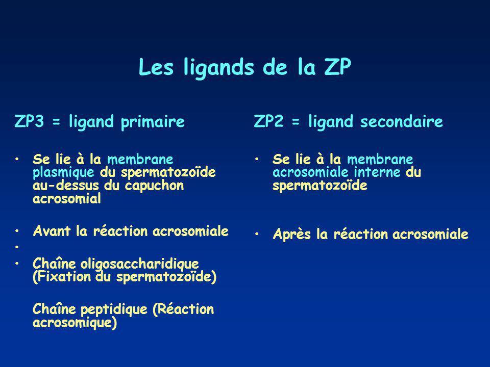 Les ligands de la ZP ZP3 = ligand primaire Se lie à la membrane plasmique du spermatozoïde au-dessus du capuchon acrosomial Avant la réaction acrosomiale Chaîne oligosaccharidique (Fixation du spermatozoïde) Chaîne peptidique (Réaction acrosomique) ZP2 = ligand secondaire Se lie à la membrane acrosomiale interne du spermatozoïde Après la réaction acrosomiale