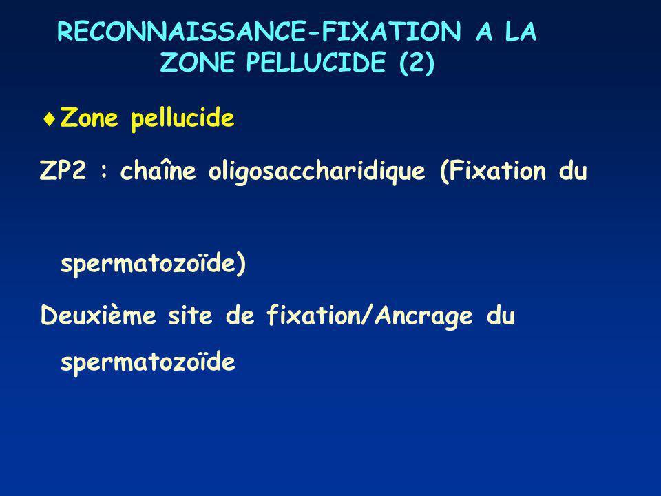 RECONNAISSANCE-FIXATION A LA ZONE PELLUCIDE (2) Zone pellucide ZP2 : chaîne oligosaccharidique (Fixation du spermatozoïde) Deuxième site de fixation/Ancrage du spermatozoïde