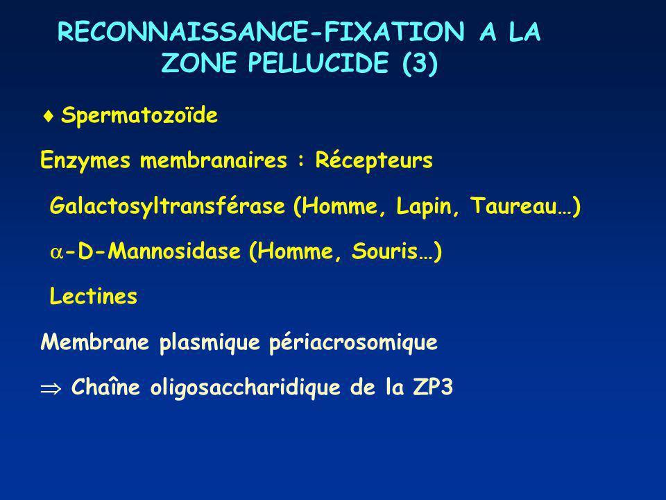RECONNAISSANCE-FIXATION A LA ZONE PELLUCIDE (3) Spermatozoïde Enzymes membranaires : Récepteurs Galactosyltransférase (Homme, Lapin, Taureau…) -D-Mannosidase (Homme, Souris…) Lectines Membrane plasmique périacrosomique Chaîne oligosaccharidique de la ZP3