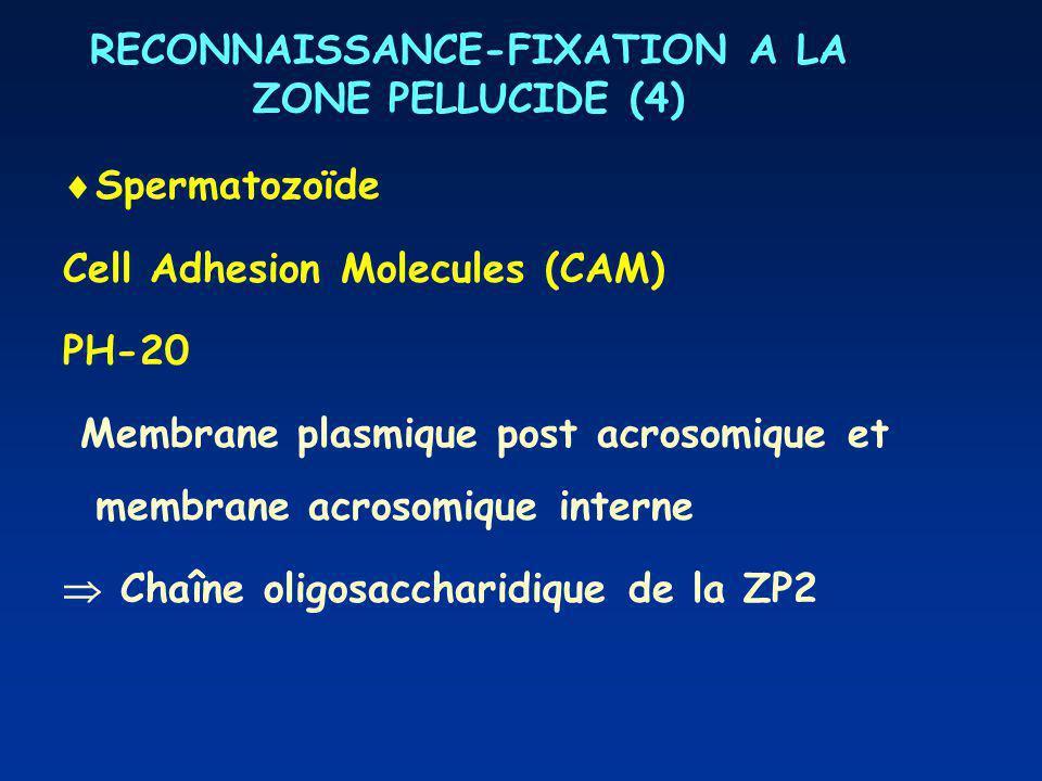 RECONNAISSANCE-FIXATION A LA ZONE PELLUCIDE (4) Spermatozoïde Cell Adhesion Molecules (CAM) PH-20 Membrane plasmique post acrosomique et membrane acro