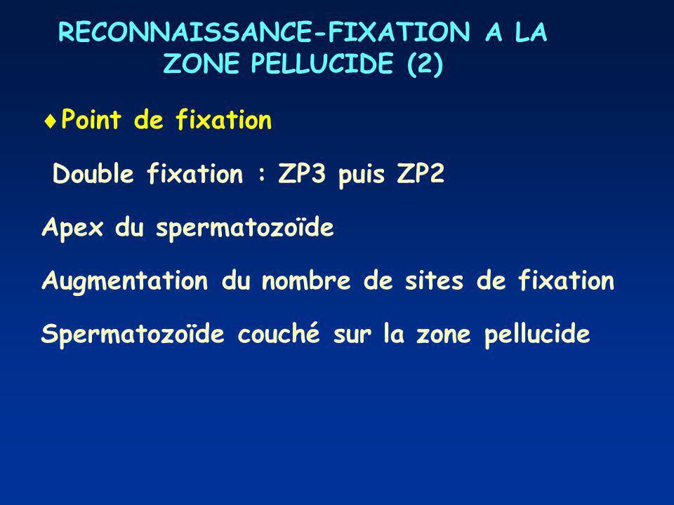RECONNAISSANCE-FIXATION A LA ZONE PELLUCIDE (2) Point de fixation Double fixation : ZP3 puis ZP2 Apex du spermatozoïde Augmentation du nombre de sites de fixation Spermatozoïde couché sur la zone pellucide