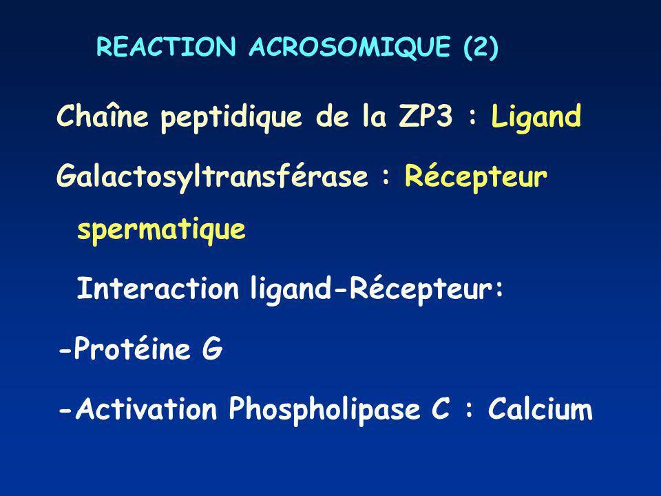 REACTION ACROSOMIQUE (2) Chaîne peptidique de la ZP3 : Ligand Galactosyltransférase : Récepteur spermatique Interaction ligand-Récepteur: -Protéine G -Activation Phospholipase C : Calcium