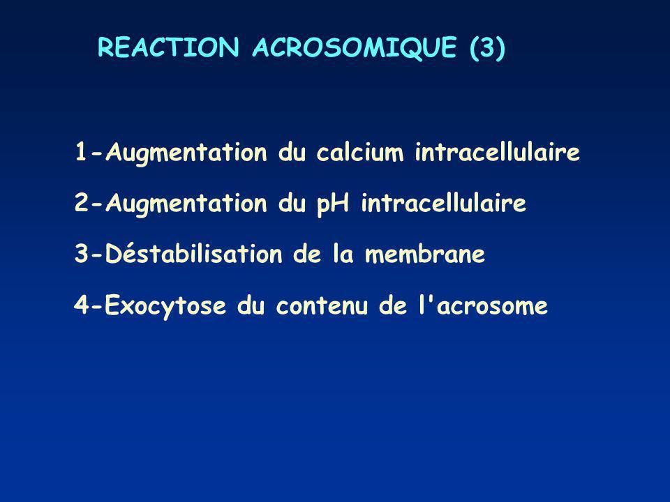 REACTION ACROSOMIQUE (3) 1-Augmentation du calcium intracellulaire 2-Augmentation du pH intracellulaire 3-Déstabilisation de la membrane 4-Exocytose du contenu de l acrosome