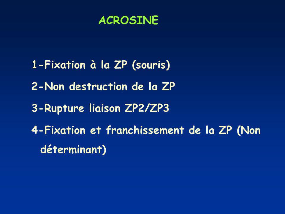 ACROSINE 1-Fixation à la ZP (souris) 2-Non destruction de la ZP 3-Rupture liaison ZP2/ZP3 4-Fixation et franchissement de la ZP (Non déterminant)