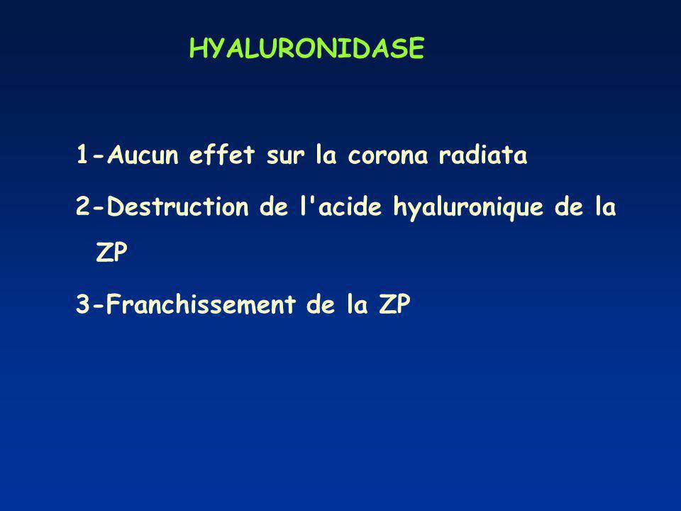 HYALURONIDASE 1-Aucun effet sur la corona radiata 2-Destruction de l acide hyaluronique de la ZP 3-Franchissement de la ZP
