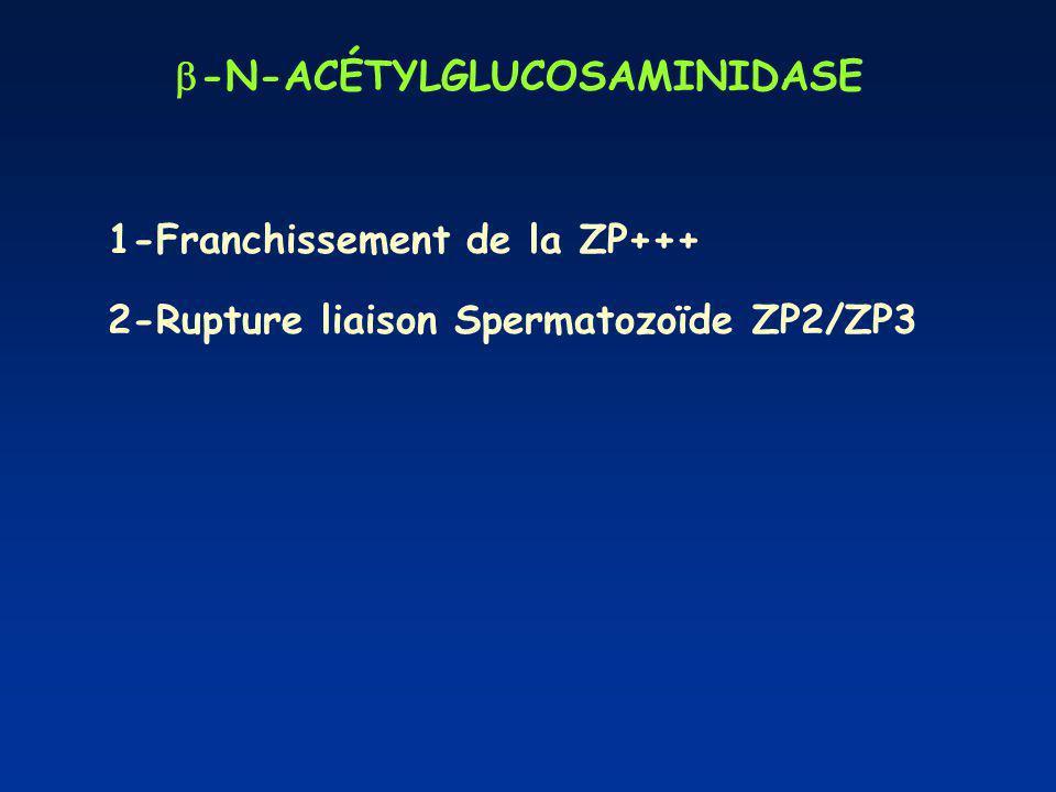 -N-ACÉTYLGLUCOSAMINIDASE 1-Franchissement de la ZP+++ 2-Rupture liaison Spermatozoïde ZP2/ZP3