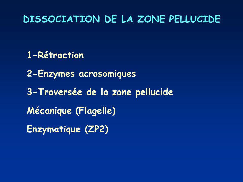 DISSOCIATION DE LA ZONE PELLUCIDE 1-Rétraction 2-Enzymes acrosomiques 3-Traversée de la zone pellucide Mécanique (Flagelle) Enzymatique (ZP2)