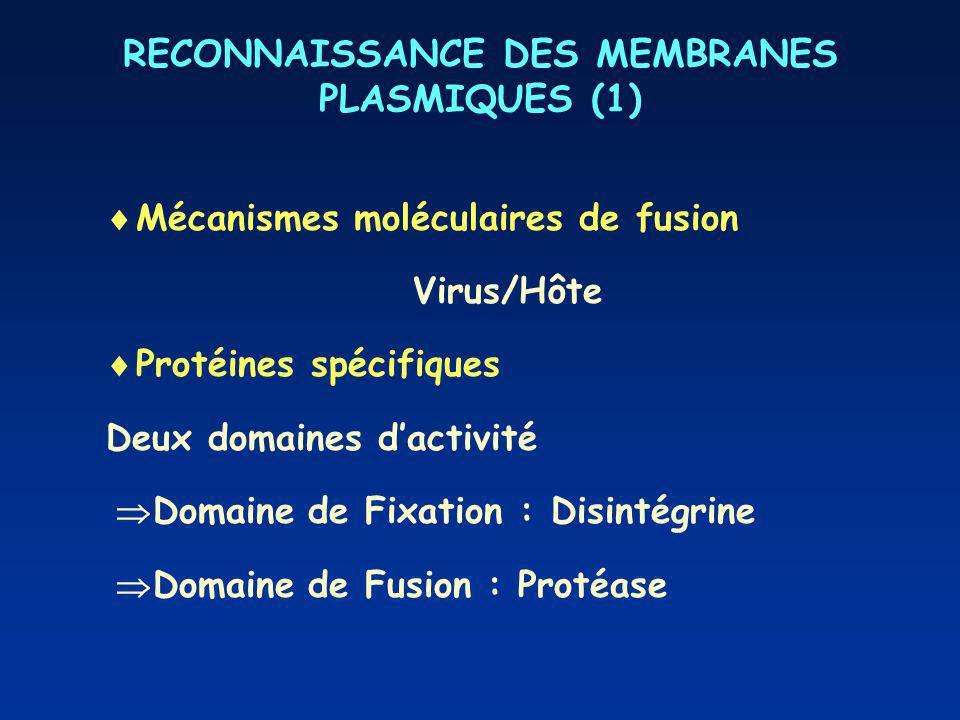 RECONNAISSANCE DES MEMBRANES PLASMIQUES (1) Mécanismes moléculaires de fusion Virus/Hôte Protéines spécifiques Deux domaines dactivité Domaine de Fixation : Disintégrine Domaine de Fusion : Protéase