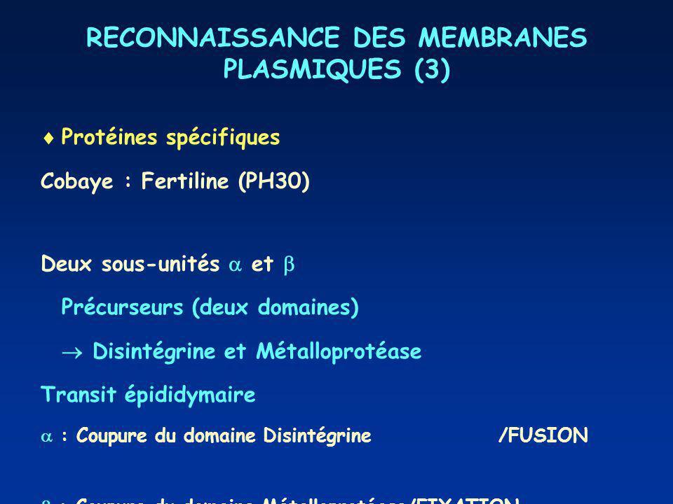 RECONNAISSANCE DES MEMBRANES PLASMIQUES (3) Protéines spécifiques Cobaye : Fertiline (PH30) Deux sous-unités et Précurseurs (deux domaines) Disintégrine et Métalloprotéase Transit épididymaire : Coupure du domaine Disintégrine/FUSION : Coupure du domaine Métalloprotéase/FIXATION