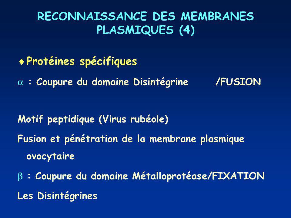 RECONNAISSANCE DES MEMBRANES PLASMIQUES (4) Protéines spécifiques : Coupure du domaine Disintégrine/FUSION Motif peptidique (Virus rubéole) Fusion et pénétration de la membrane plasmique ovocytaire : Coupure du domaine Métalloprotéase/FIXATION Les Disintégrines