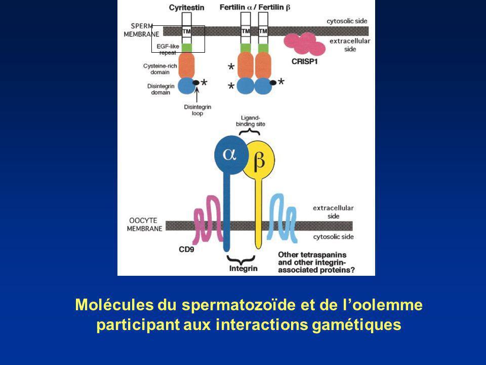 Molécules du spermatozoïde et de loolemme participant aux interactions gamétiques