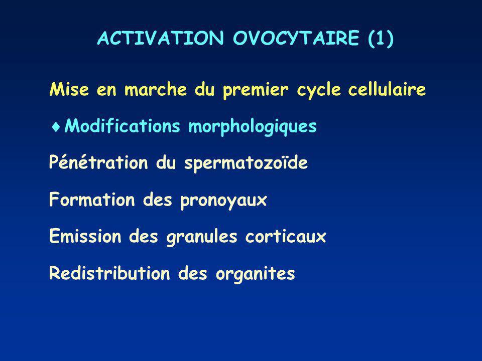 ACTIVATION OVOCYTAIRE (1) Mise en marche du premier cycle cellulaire Modifications morphologiques Pénétration du spermatozoïde Formation des pronoyaux
