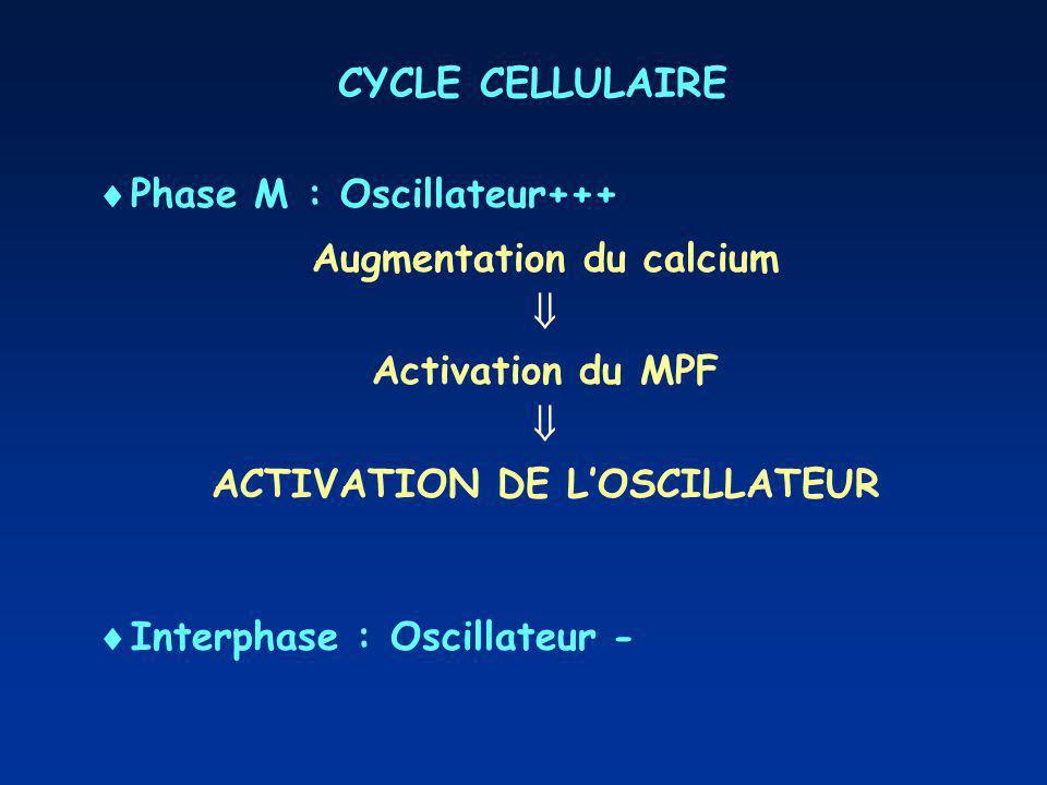 CYCLE CELLULAIRE Phase M : Oscillateur+++ Augmentation du calcium Activation du MPF ACTIVATION DE LOSCILLATEUR Interphase : Oscillateur -