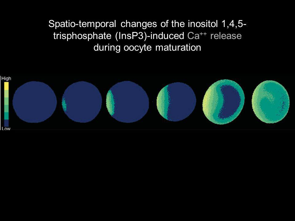 Santela,L2004p400 Figure 2. Spatio-temporal changes of the inositol 1,4,5-trisphosphate (InsP3)-induced Ca2C release during oocyte maturation. Starfis