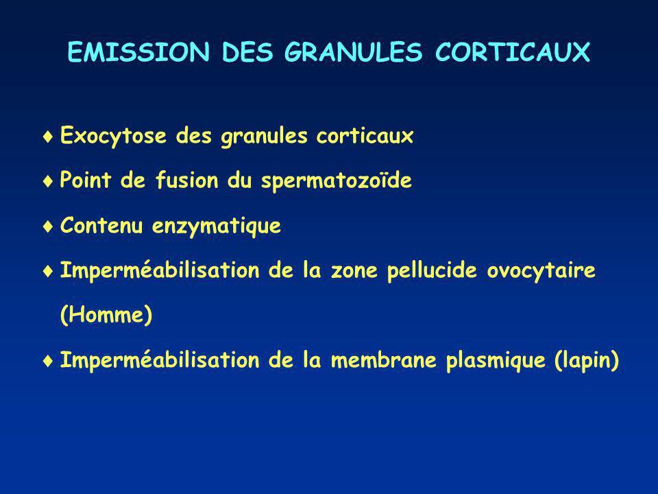EMISSION DES GRANULES CORTICAUX Exocytose des granules corticaux Point de fusion du spermatozoïde Contenu enzymatique Imperméabilisation de la zone pe