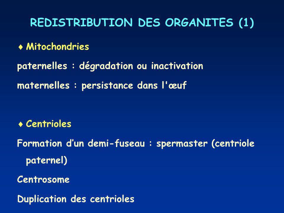 REDISTRIBUTION DES ORGANITES (1) Mitochondries paternelles : dégradation ou inactivation maternelles : persistance dans l œuf Centrioles Formation dun demi-fuseau : spermaster (centriole paternel) Centrosome Duplication des centrioles