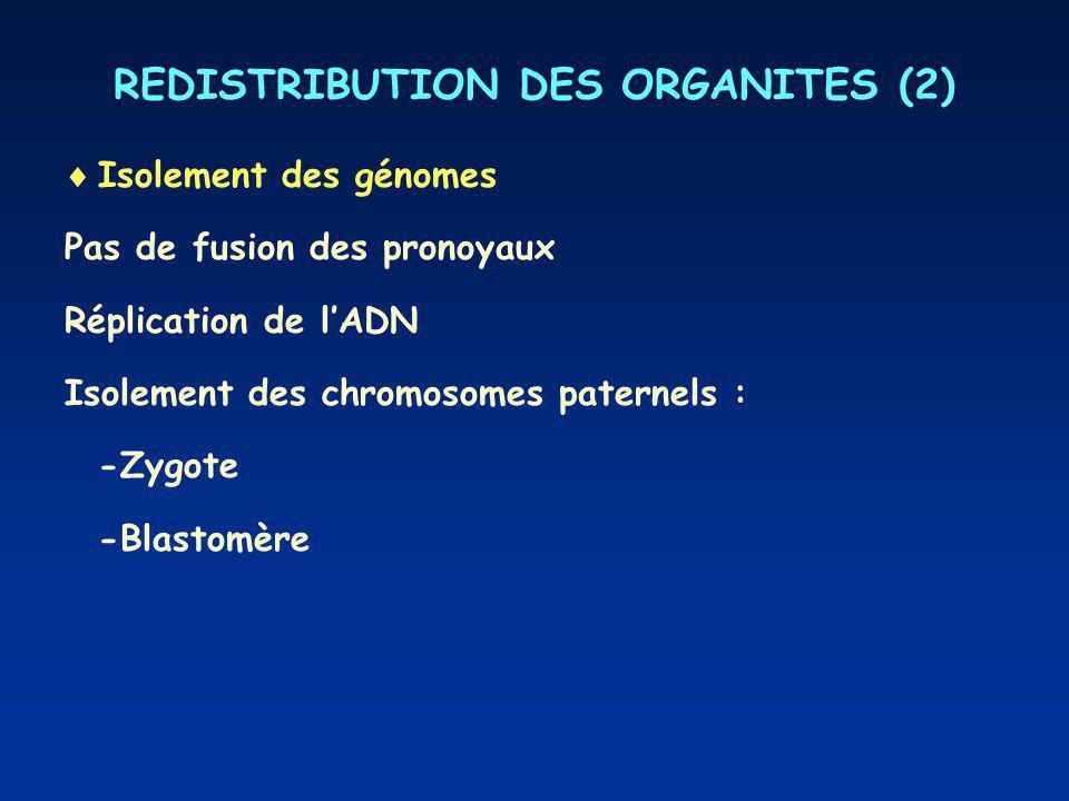 REDISTRIBUTION DES ORGANITES (2) Isolement des génomes Pas de fusion des pronoyaux Réplication de lADN Isolement des chromosomes paternels : -Zygote -Blastomère