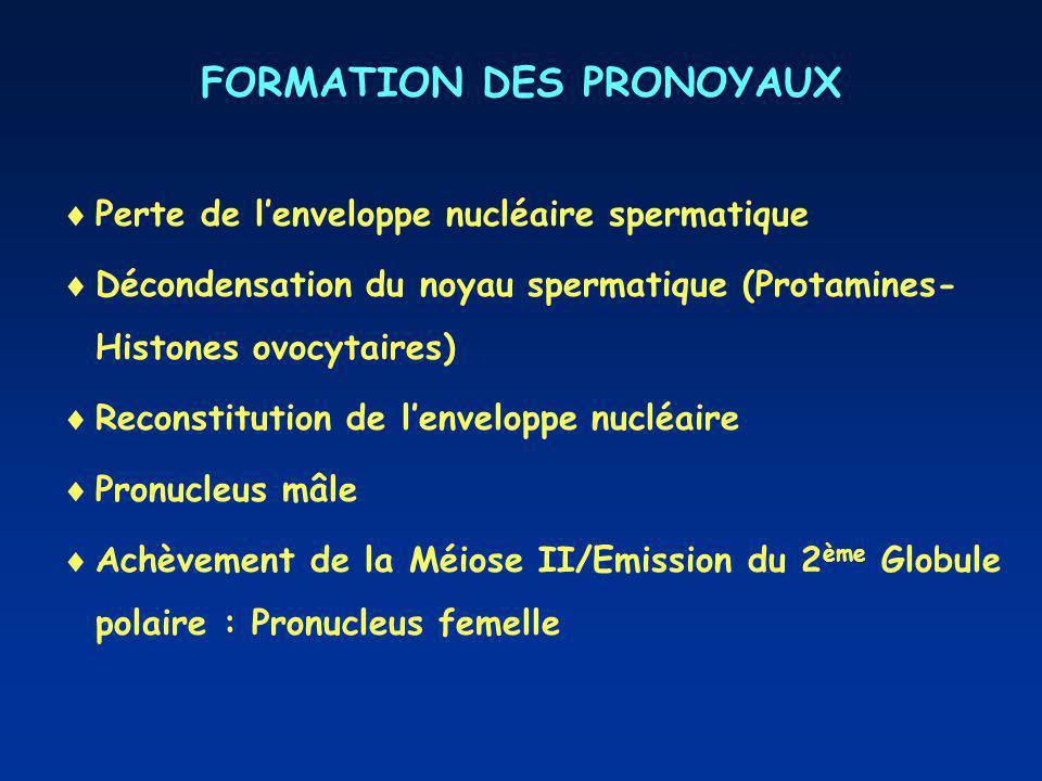 FORMATION DES PRONOYAUX Perte de lenveloppe nucléaire spermatique Décondensation du noyau spermatique (Protamines- Histones ovocytaires) Reconstitution de lenveloppe nucléaire Pronucleus mâle Achèvement de la Méiose II/Emission du 2 ème Globule polaire : Pronucleus femelle