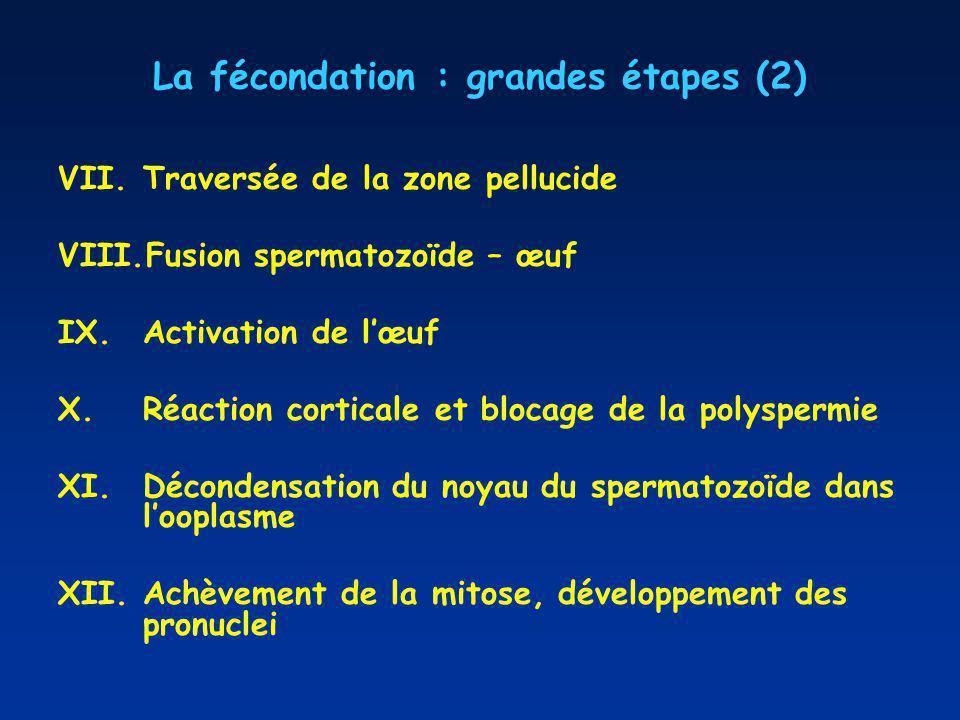 La fécondation : grandes étapes (2) VII.Traversée de la zone pellucide VIII.Fusion spermatozoïde – œuf IX.Activation de lœuf X.Réaction corticale et blocage de la polyspermie XI.Décondensation du noyau du spermatozoïde dans looplasme XII.Achèvement de la mitose, développement des pronuclei