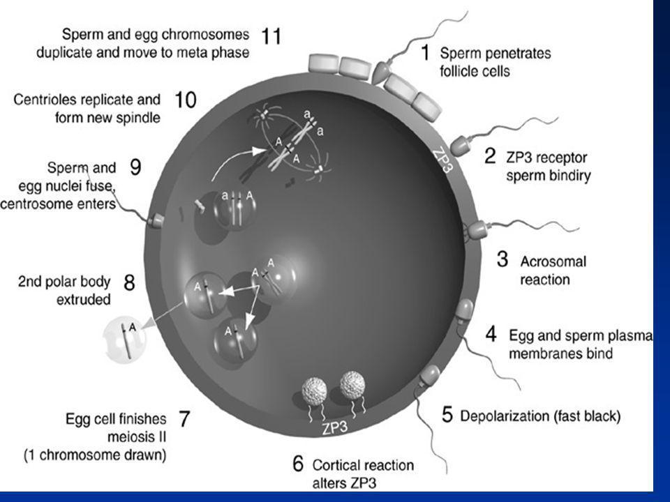 FUSION DES GAMÈTES Reconnaissance des membranes plasmiques Ovocytes/Spermatozoïdes Fusion des membranes plasmiques