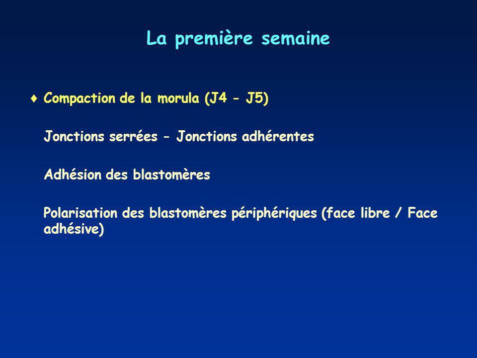 La première semaine Compaction de la morula (J4 - J5) Jonctions serrées - Jonctions adhérentes Adhésion des blastomères Polarisation des blastomères périphériques (face libre / Face adhésive)