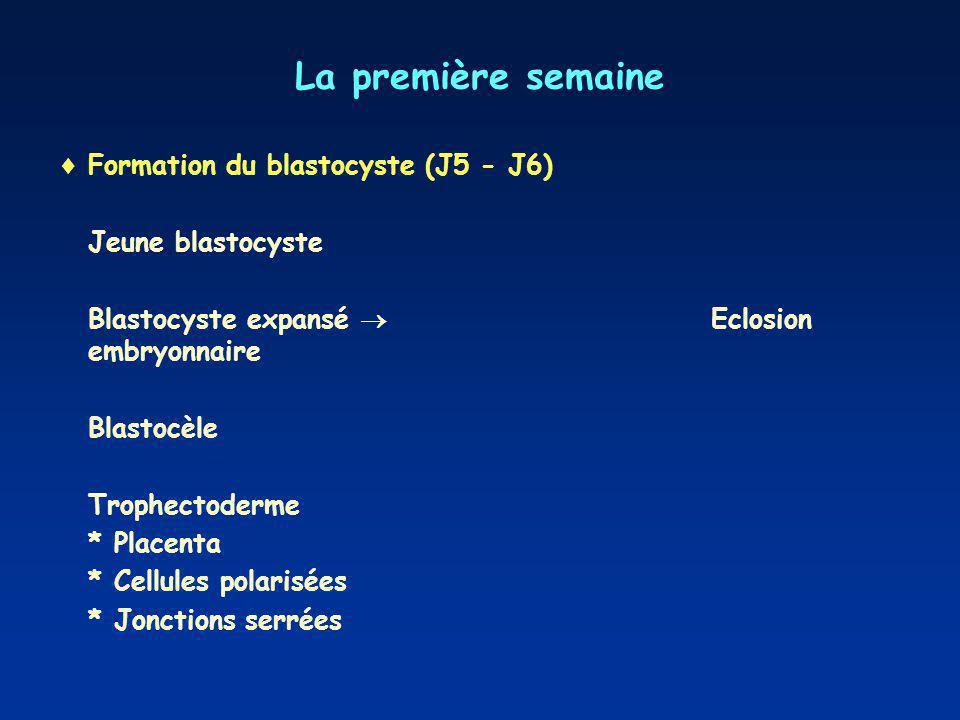 La première semaine Formation du blastocyste (J5 - J6) Jeune blastocyste Blastocyste expansé Eclosion embryonnaire Blastocèle Trophectoderme * Placenta * Cellules polarisées * Jonctions serrées