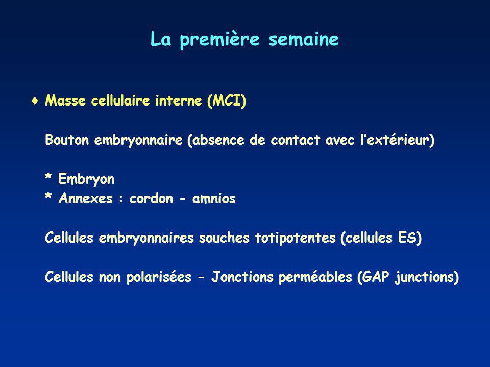 La première semaine Masse cellulaire interne (MCI) Bouton embryonnaire (absence de contact avec lextérieur) * Embryon * Annexes : cordon - amnios Cellules embryonnaires souches totipotentes (cellules ES) Cellules non polarisées - Jonctions perméables (GAP junctions)