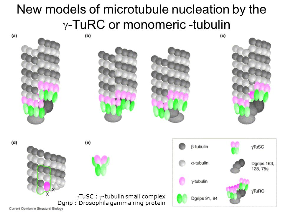 11 Moritz,M2001(fig4) New models of microtubule nucleation by the -TuRC or monomeric -tubulin TuSC : -tubulin small complex Dgrip : Drosophila gamma ring protein