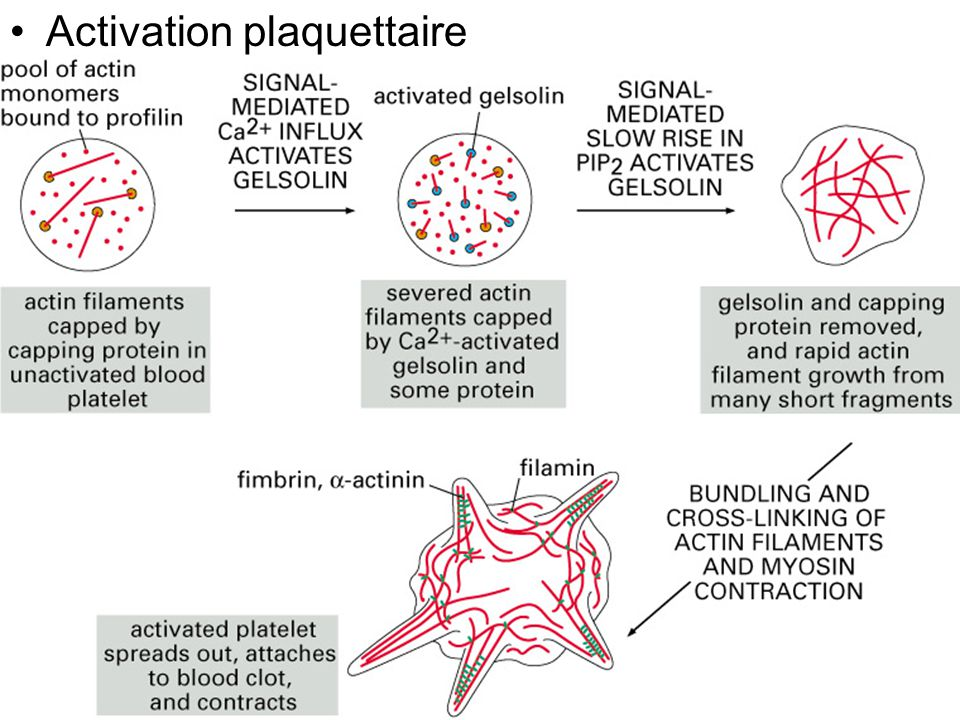 132 Fig16-47(A) Activation plaquettaire