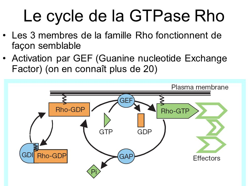 165 Etienne-Manneville,S2002p629 Figure 1 The Rho GTPase cycle.