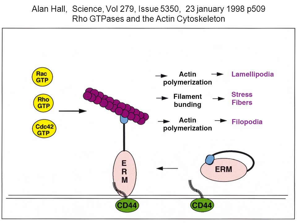 168 Fig.4. ERM proteins are required for GTPase-mediated cytoskeletal changes.