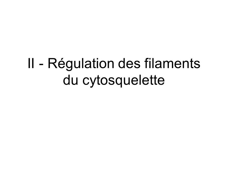 3 Dynamisme des éléments du cytosquelette Régulation des filaments en longueur, stabilité, nombre et géométrie Interagissent les uns avec les autres et avec les autres composants de la cellule Parfois liaisons covalentes de protéines accessoires – Soit avec les sous-unités – Soit avec le filament