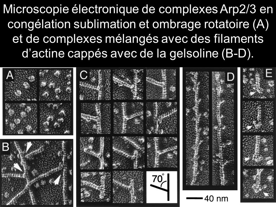 31 Electron micrographs of quick-frozen, deep-etched, and rotary-shadowed samples of Arp2/3 complex (A) and complex mixed with gelsolin-capped actin filaments (B-D).