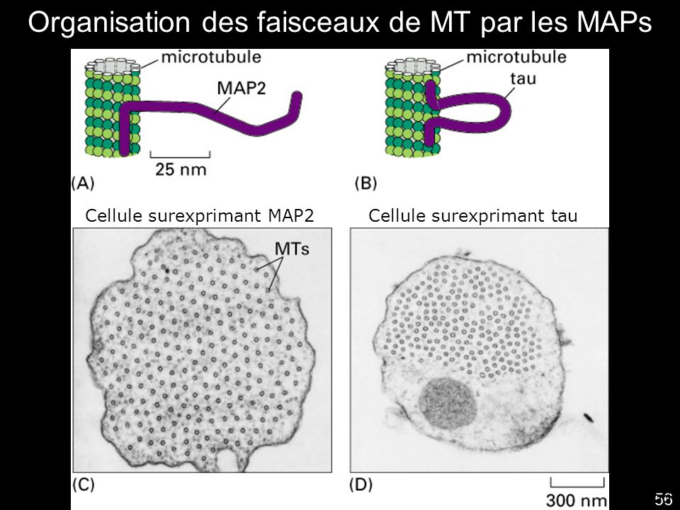 56 Fig16-33 Organisation des faisceaux de MT par les MAPs Cellule surexprimant MAP2Cellule surexprimant tau