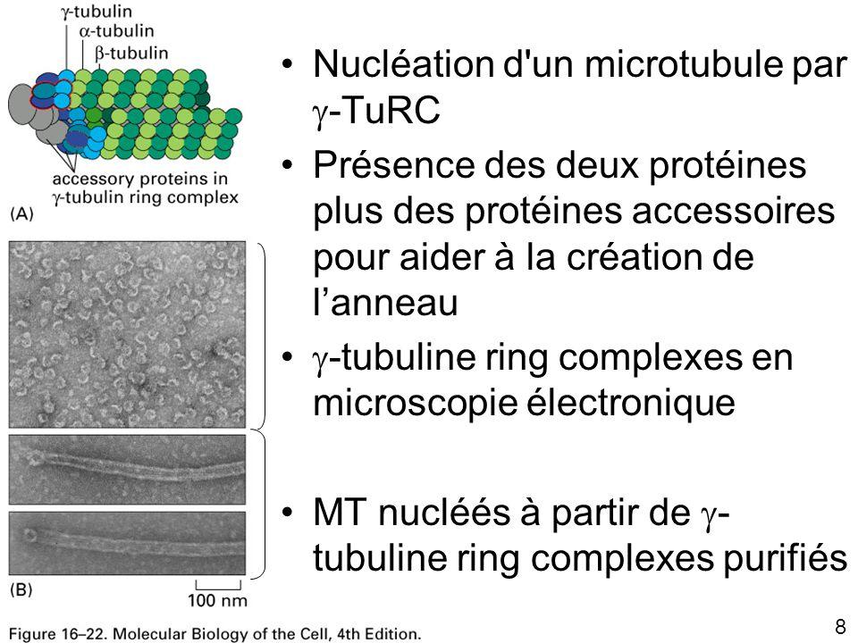 119 Fig16-45 Cassure des microtubules par la katanine – 30 s après l addition de Katanine – Même champ 3 minutes après l addition de la Katanine MT marqués par la rhodamine et stabilisés par le taxol adsorbés sur une plaque de verre