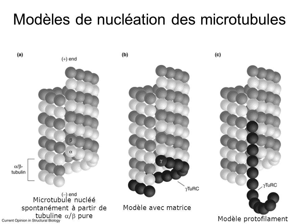 70 Justification de ces protéines Protéines de liaison latérale (§ 2) – Modifient la dynamique du filament – Mais il en faut beaucoup (doit recouvrir tout le filament) 1 tropomyosine pour 7 actines 1 tau pour 4 tubulines 1 cofiline pour 1 actine Protéines de liaison aux extrémités du filament (§ 3) – Modifient la dynamique du filament – Mais peuvent être en très faible quantité 1 molécule par « filament » suffit (eg 1molécule pour 200-500 actines)