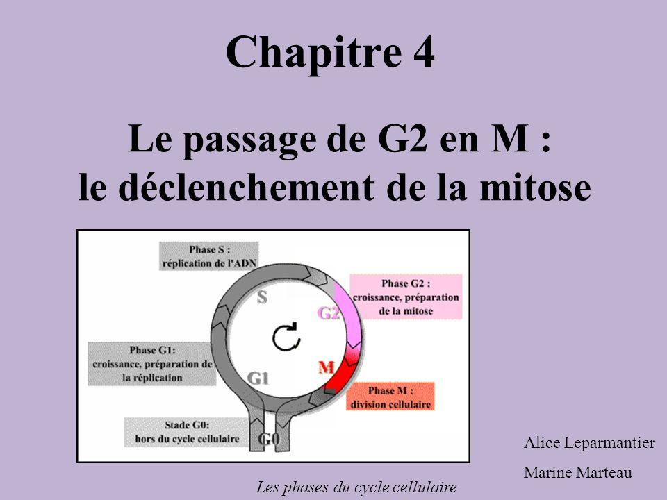 Le passage de G2 en M : le déclenchement de la mitose Chapitre 4 Alice Leparmantier Marine Marteau Les phases du cycle cellulaire