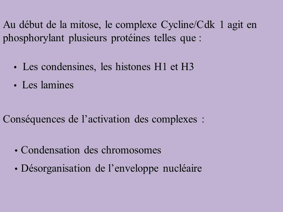 Au début de la mitose, le complexe Cycline/Cdk 1 agit en phosphorylant plusieurs protéines telles que : Les condensines, les histones H1 et H3 Les lam