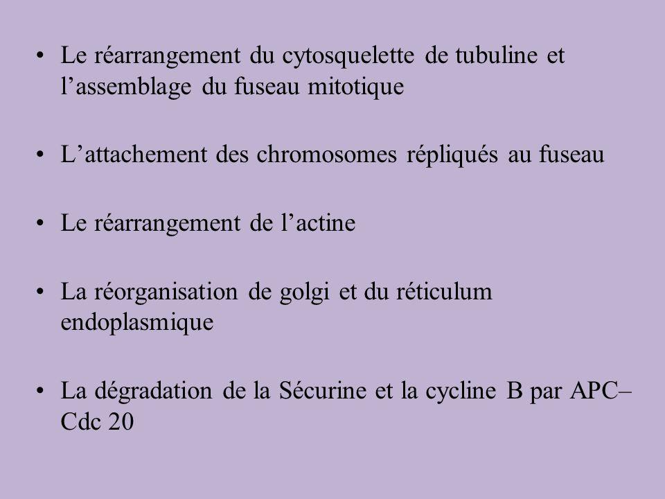 Le réarrangement du cytosquelette de tubuline et lassemblage du fuseau mitotique Lattachement des chromosomes répliqués au fuseau Le réarrangement de