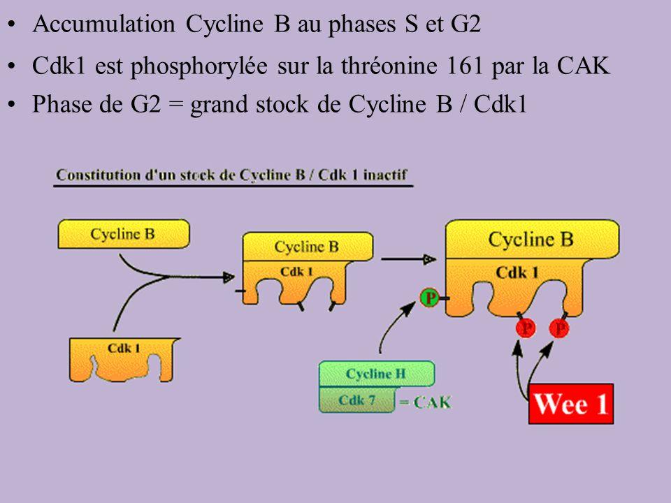 Accumulation Cycline B au phases S et G2 Cdk1 est phosphorylée sur la thréonine 161 par la CAK Phase de G2 = grand stock de Cycline B / Cdk1