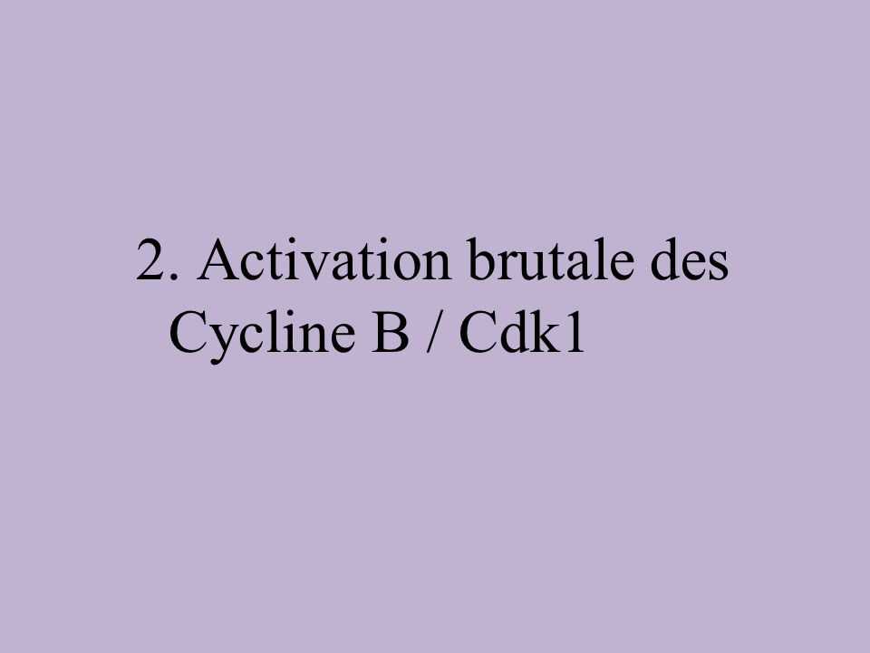 2. Activation brutale des Cycline B / Cdk1
