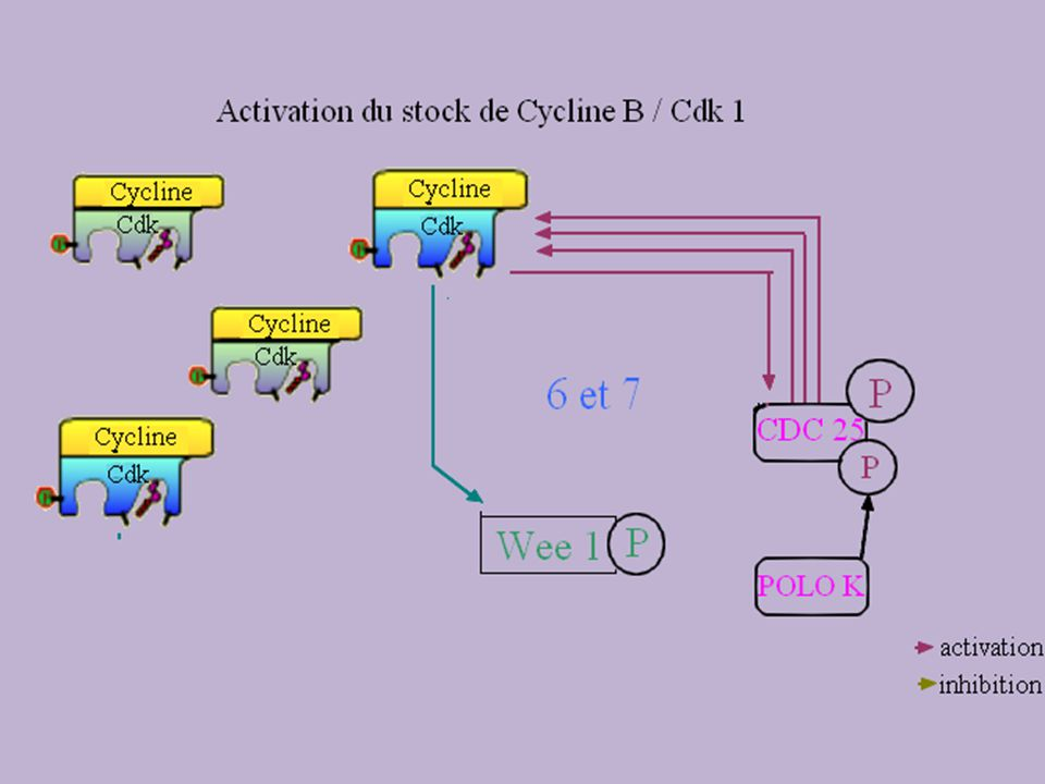 3. Mode daction des complexes activés