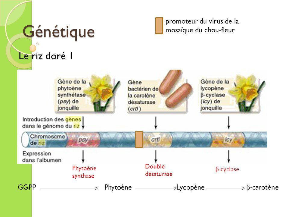 Génétique Le riz doré 2 GGPP Phytoène Lycopène β-carotène Phytoène synthase β-cyclase Double désaturase promoteur Gt1 du riz (Oryza sativa) Gène de la phytoène synthase (psy) du maïs