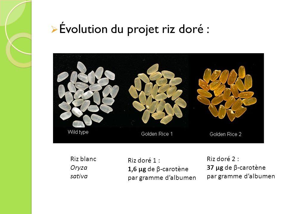 Évolution du projet riz doré : Riz blanc Oryza sativa Riz doré 1 : 1,6 µg de β-carotène par gramme dalbumen Riz doré 2 : 37 µg de β-carotène par gramme dalbumen