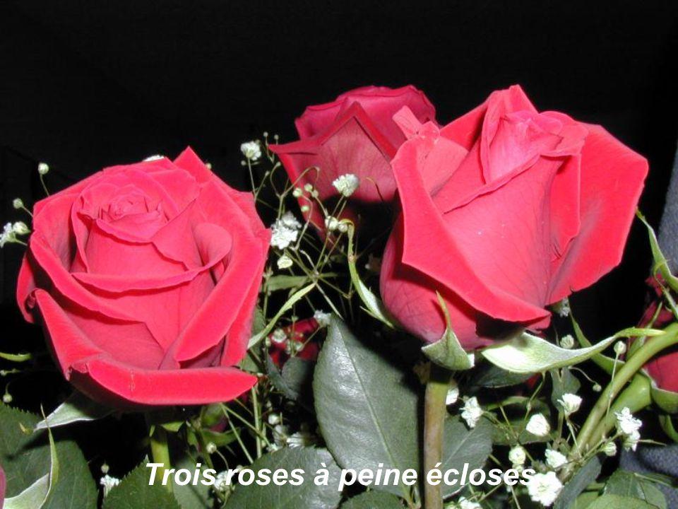 Moffrir, oui ! Trois roses,