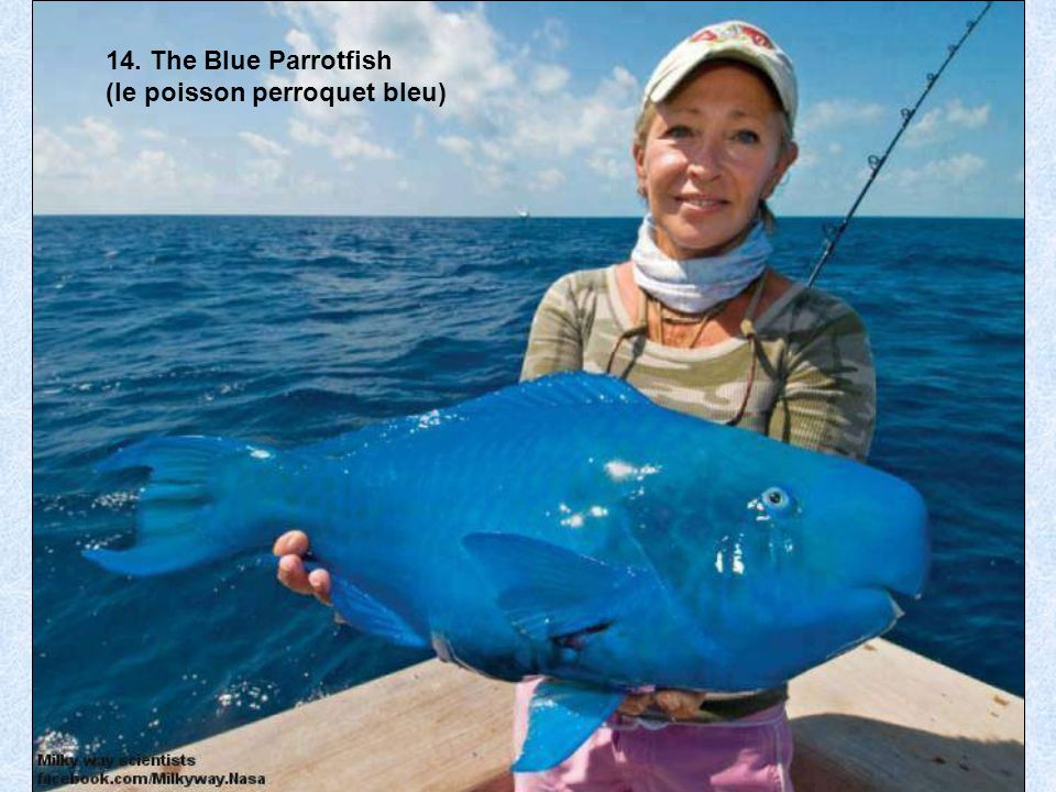 14. The Blue Parrotfish (le poisson perroquet bleu)